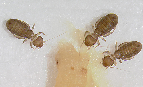 Lice vs Bed Bugs http://www.pestfreesydney.com.au/information/book-lice/