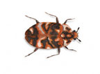 Image for Getting rid of carpet beetles in Sydney