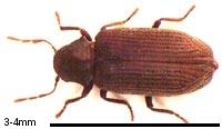 Image for Borer beetle size - Borer Control