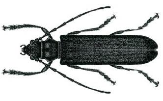 Image for Borer beetle - Borer Control Sydney