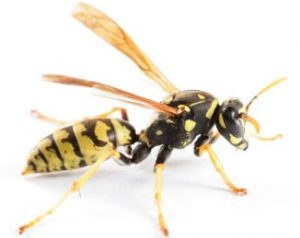 Image for Wasps Pest Control Sydney